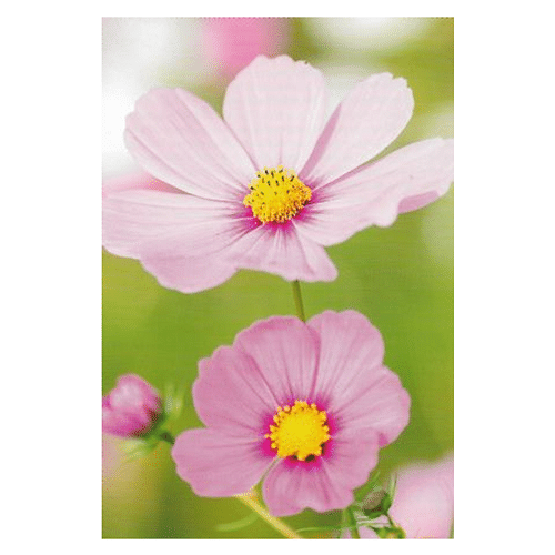 Pink Flowers Blank Card - Cotswold Jewellery