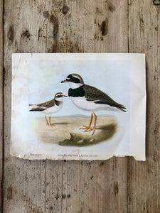 Double Sided Vintage Bird Plate Moor-Hen & Ringed Plover