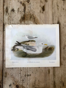 Double Sided Vintage Bird Plate Razorbill & Kittiwake