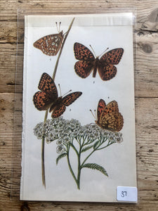 Vintage Butterfly Book Plate - Silver-washed Fritillary (No.37)