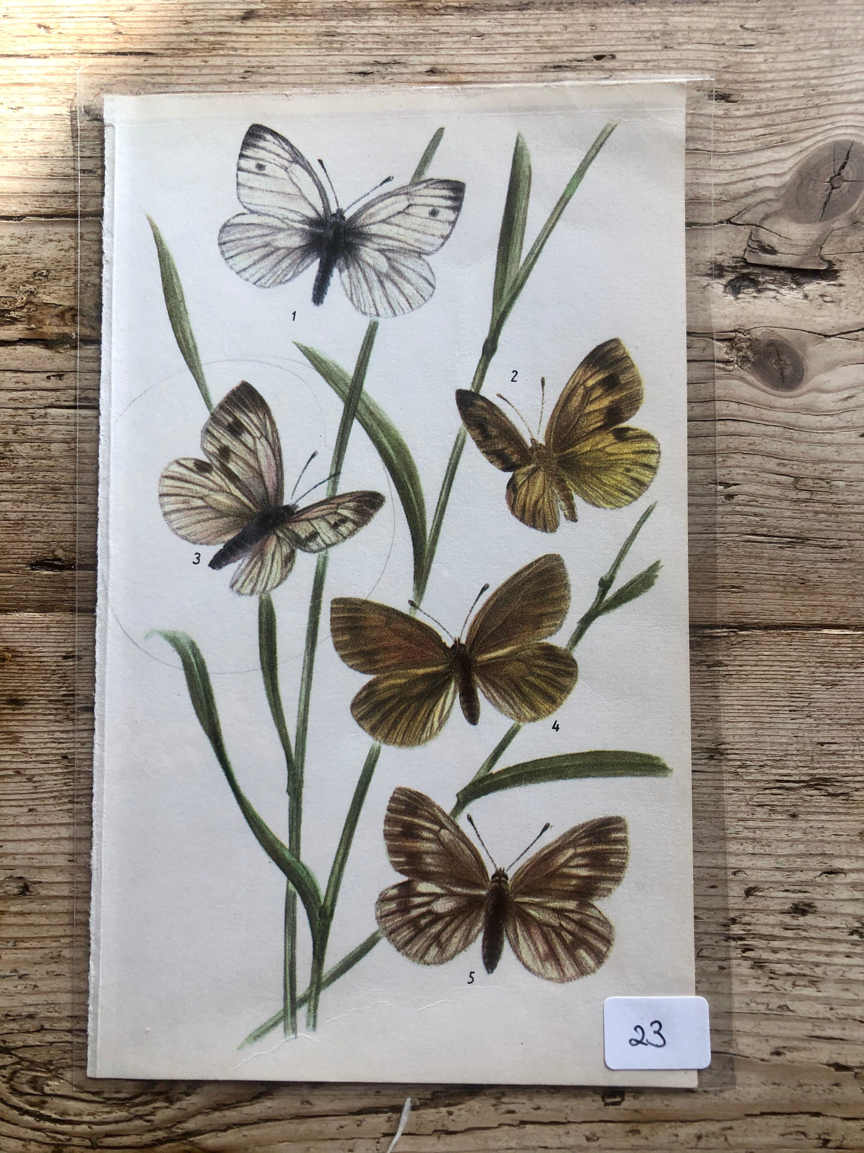 Vintage Butterfly Book Plate - Bath White (No.23)