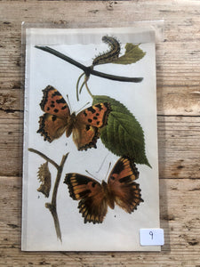 Vintage Butterfly Book Plate - False Comma (No.9)