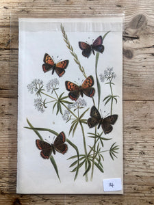 Vintage Butterfly Book Plate - Adonis Blue (No.14)