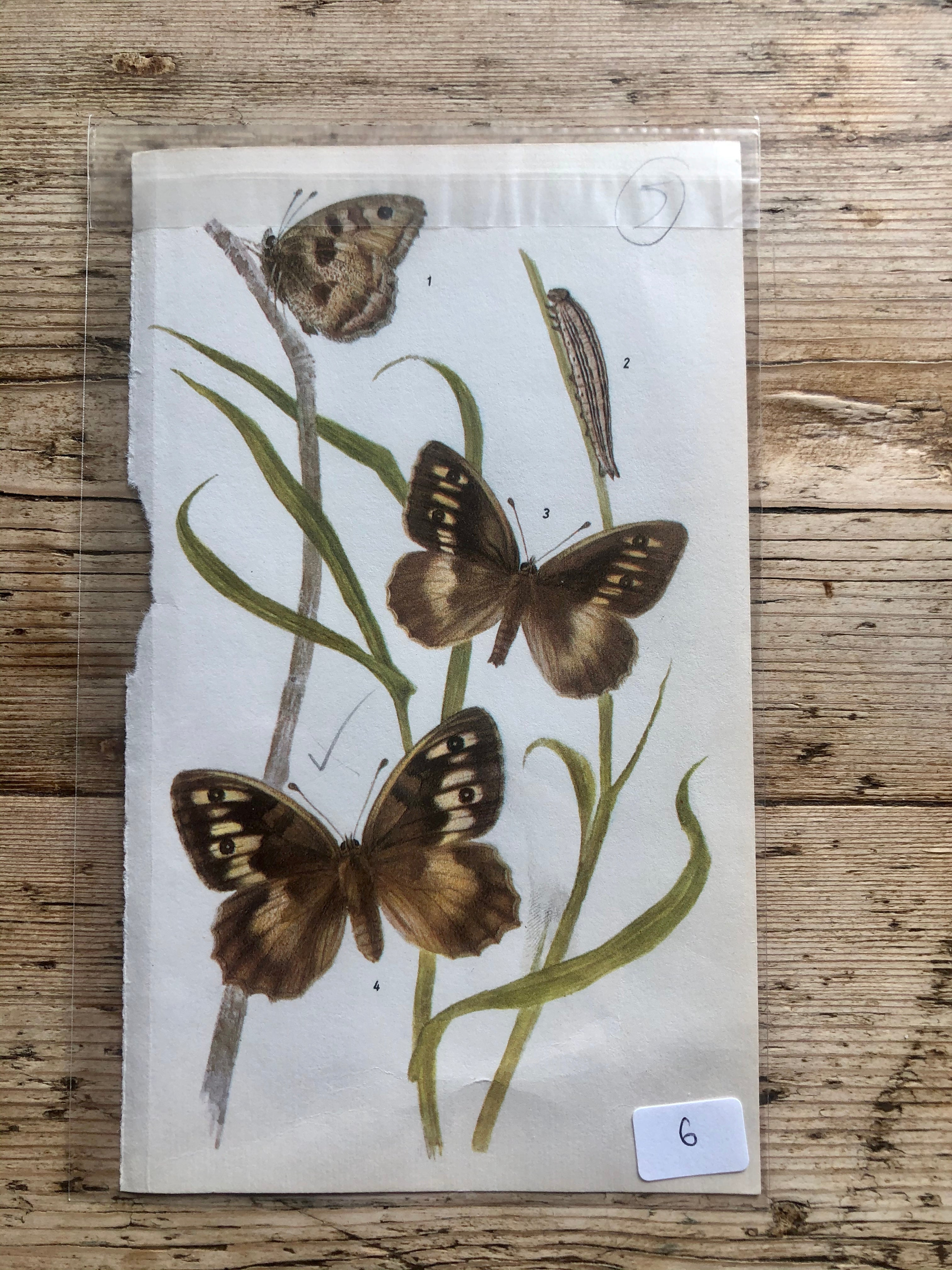 Vintage Butterfly Book Plate - Great Banded Grayling (No.6)