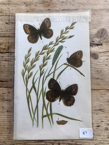 Vintage Butterfly Book Plate - Large Ringlet (No.47)