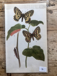 Vintage Butterfly Book Plate - Clouded Apollo (No.36)
