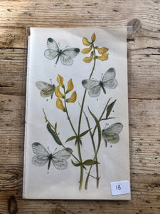 Vintage Butterfly Book Plate - Black-veined White (No.13)