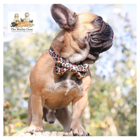 french bulldog wearing leopard print collar and bowtie