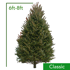 6ft-8ft Classic Balsam Fir Christmas Tree