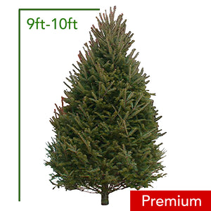 9ft-10ft Premium Balsam Fir Christmas Tree