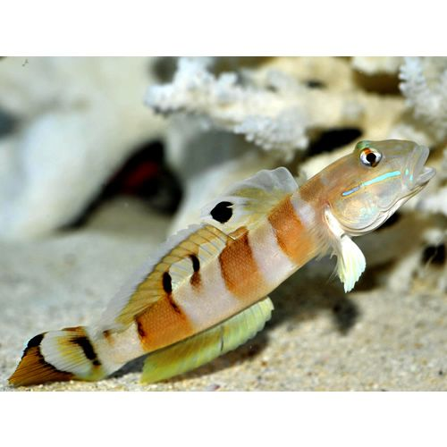 Tiger Watchman Goby (Valenciennea wardii)