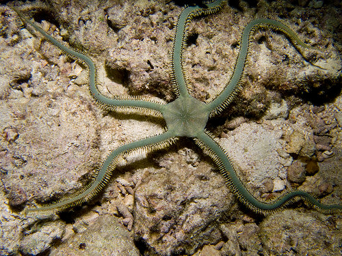 Green Brittle Starfish (Ophioderma sp.)