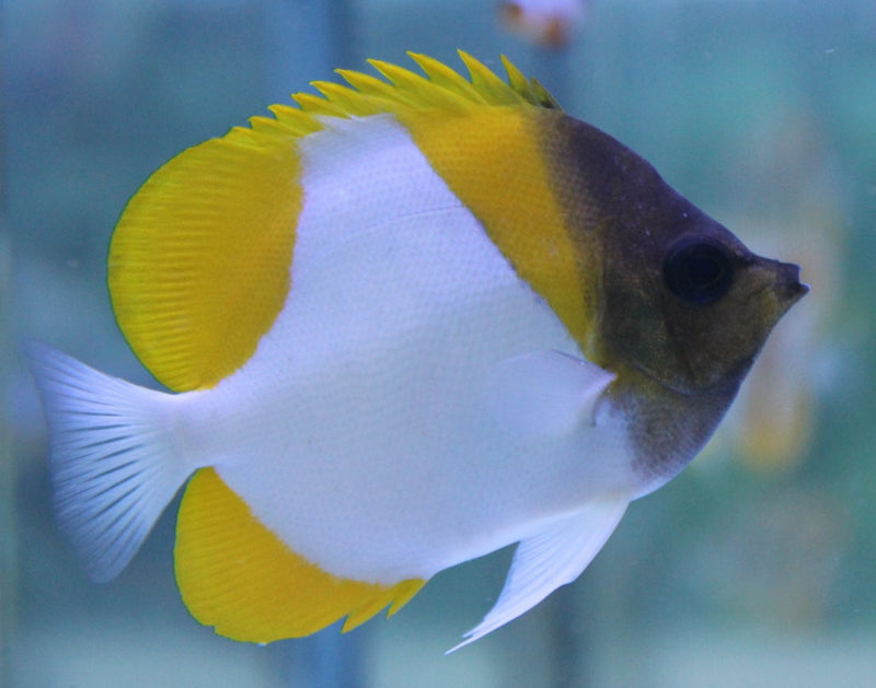 Yellow Pyramid / Diamond Butterflyfish (Hemitaurichthys polylepis)