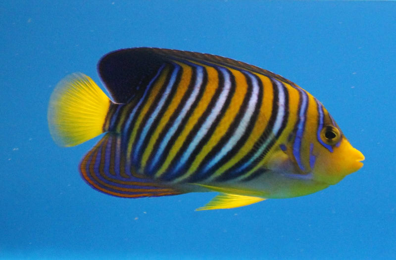 Regal Angelfish (Pygoplites Diacanthus)