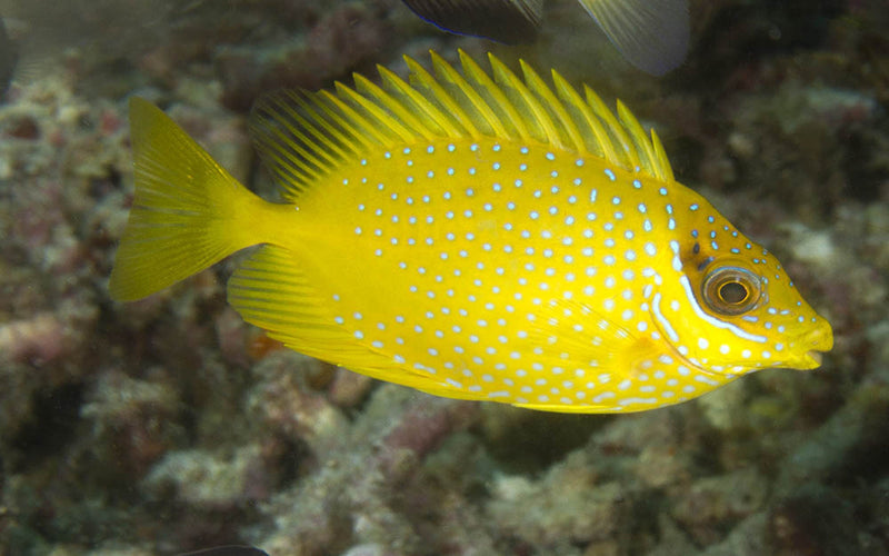 Yellow Rabbitfish (Siganus corallinus)