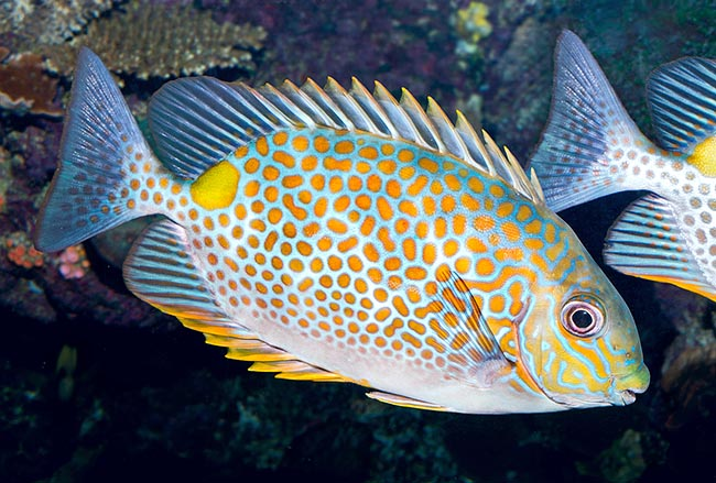 Orange Spotted Rabbitfish (Siganus guttatus)