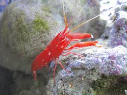 Red Snapping Pistol Shrimp (Alpheus sp)
