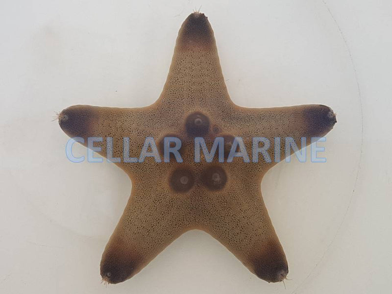 Chocolate Chip Starfish