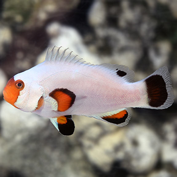 Wyoming White Clownfish (Amphiprion ocellaris )