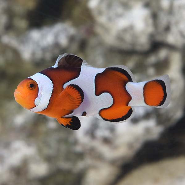 Gladiator Clownfish - (Amphiprion ocellaris)