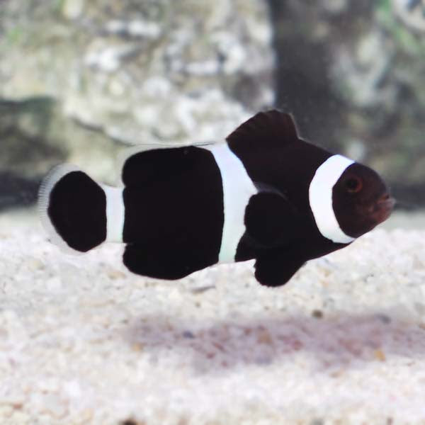 Black & White Clownfish (Amphiprion ocellaris)