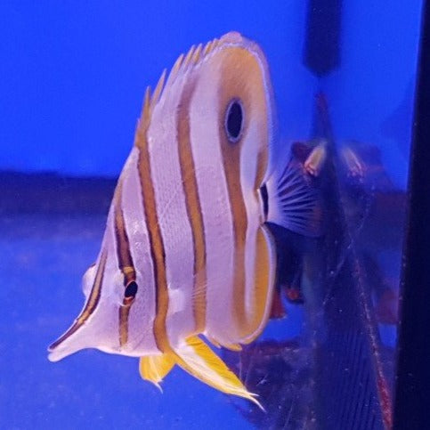 Copperband Butterflyfish (Chelmon Rpstratus)
