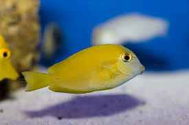 Orange Shoulder Tang Juvenile (Acanthurus olivaceus)
