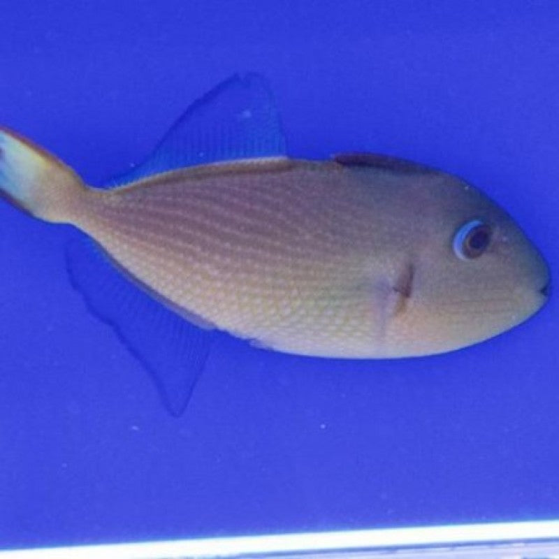 Blue Throat Triggerfish Female (Xanthichthys auromarginatus)