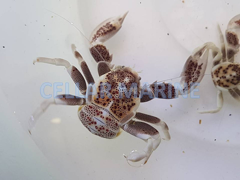 Porcelain Crab Mottled (Anemone Crab)