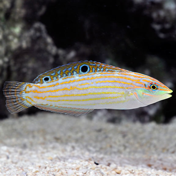 Green Face Wrasse (Halichoeres annularis)