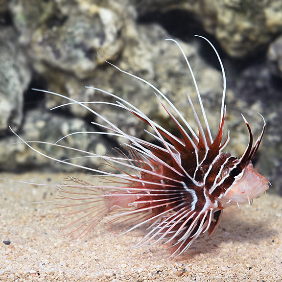 Radiata Lionfish (Pterois radiata)