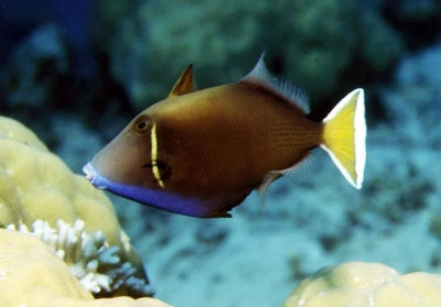Whitetail Triggerfish (Sufflamen chrysopterus)