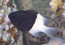 Illusion Damsel - (Chromis dimidiata)