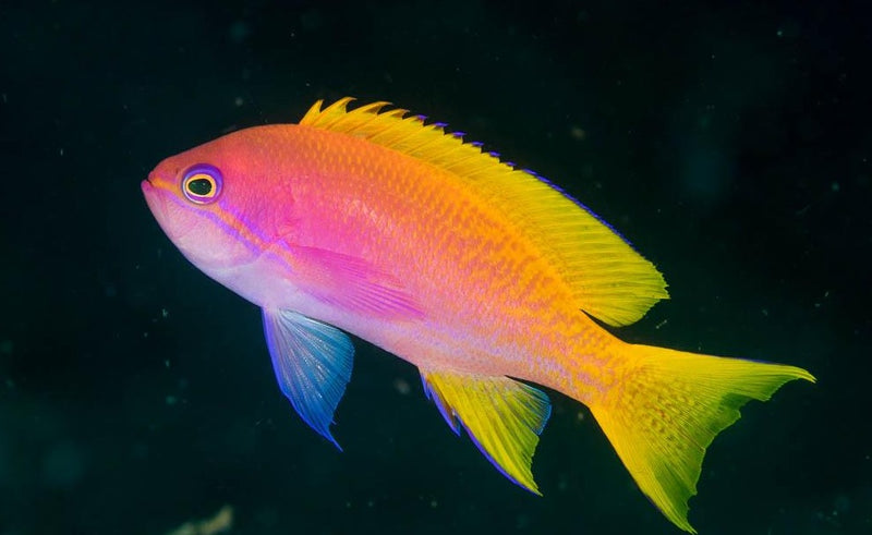 Scribbled Anthias Female (Pseudanthias bimaculatus)