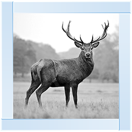 Antler Stag 85 x 85 (MR)