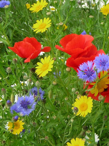 wild flower annuals mix