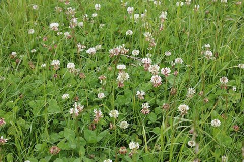 Special Mixed Clover - Legume Seed Mix