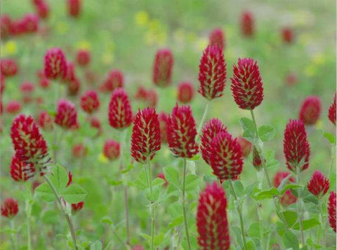 Individual Clover Varieties - Red, White & Yellow Blossom
