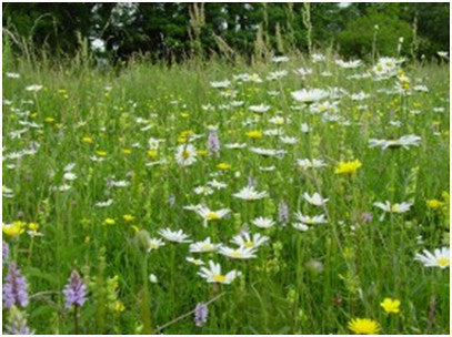Wildflower Seeds Country Meadow Mix - 100%