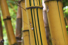 golden hawaiian bamboo