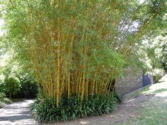 planting bamboo in winter in florida