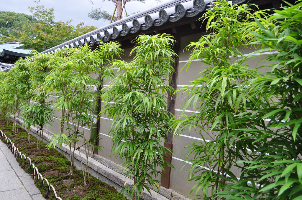 growing bamboo in florida - Growing Bamboo
