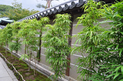 black bamboo privacy hedge