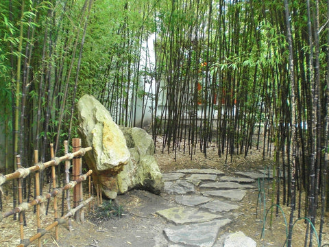 What To Know Before You Buy Black Bamboo – Bamboo Plants Online