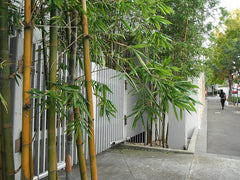 potted outdoor bamboo