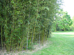 Bamboo hedge tall