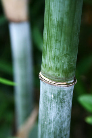 Can I Grow Blue Bamboo Where I Live Bamboo Plants Online