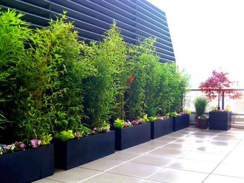 How To Grow A Bamboo Privacy Screen In Containers – Bamboo