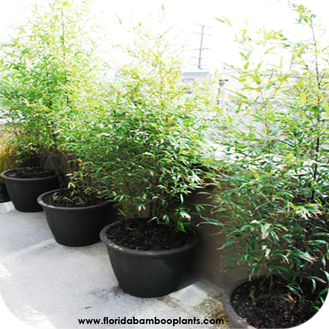 order bamboo plants for sale