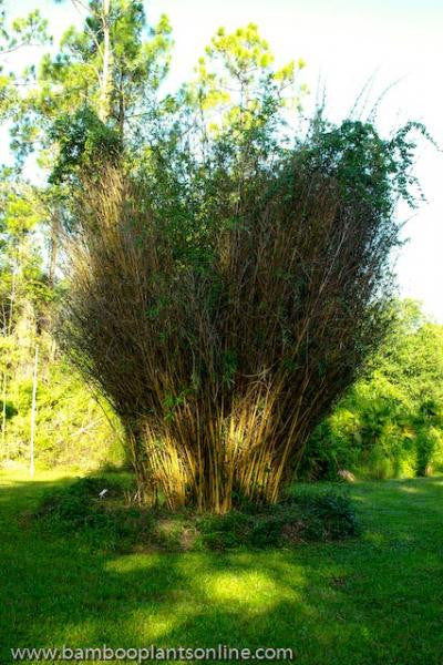 Alphonse Karr Clumping Bamboo Plants Buy One Get One Free